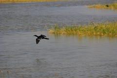 Un volo di Cormorant con l'ala rotta Immagine Stock