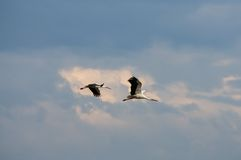 Un volo di due cicogne nel cielo Fotografia Stock