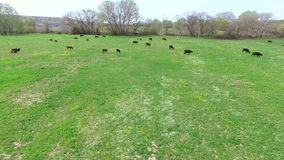 Un volo sopra un campo su cui un gregge delle mucche è pascuto Vista dell'occhio del ` s dell'uccello archivi video