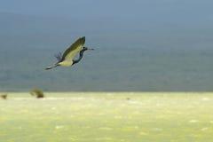 Un volo tricolored dell'airone immagine stock libera da diritti