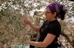 Un volontaire d'ISM dans un verger olive en Palestine. Photos stock