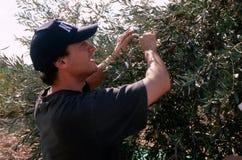 Un voluntario del ISMO en una arboleda verde oliva, Palestina. Foto de archivo