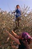 Un voluntario del ISMO y un niño palestino en una arboleda verde oliva. Imagen de archivo libre de regalías