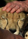 Un voluntario frota ligeramente un guepardo Fotos de archivo