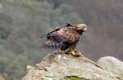 Un vrai aigle avec morts Image stock