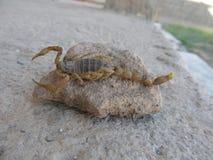Un vrai scorpion Images libres de droits