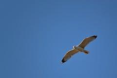 Un vuelo blanco de la gaviota en el cielo azul de la derecha hacia la izquierda Fotos de archivo