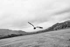 Un vuelo blanco y negro del pájaro de Quero-Quero foto de archivo libre de regalías