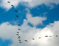 Un vuelo de gansos Imágenes de archivo libres de regalías
