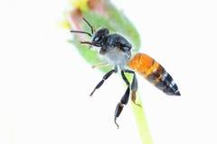 Un vuelo de la abeja aislado en el fondo blanco Imagen de archivo libre de regalías