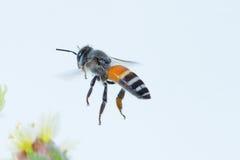 Un vuelo de la abeja aislado en el fondo blanco Fotos de archivo