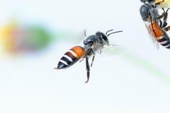Un vuelo de la abeja aislado en el fondo blanco Foto de archivo libre de regalías