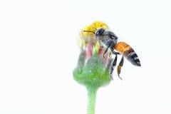 Un vuelo de la abeja aislado en el fondo blanco Imagenes de archivo