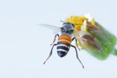 Un vuelo de la abeja aislado en el fondo blanco Imágenes de archivo libres de regalías