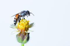Un vuelo de la abeja aislado en el fondo blanco Fotografía de archivo