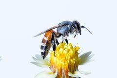 Un vuelo de la abeja aislado en el fondo blanco Fotografía de archivo libre de regalías
