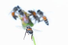 Un vuelo de la abeja aislado en el fondo blanco Fotos de archivo libres de regalías