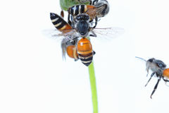 Un vuelo de la abeja aislado en el fondo blanco Foto de archivo