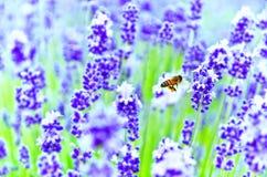 Un vuelo de la abeja en la granja de la lavanda Fotos de archivo libres de regalías