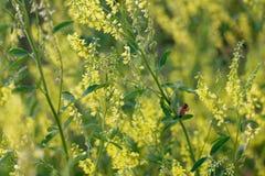 Un vuelo de la abeja por los wildflowers Imagenes de archivo