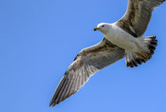 Un vuelo de la gaviota con las alas outstretch Fotografía de archivo libre de regalías