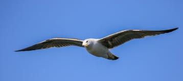 Un vuelo de la gaviota con las alas outstretch Imagen de archivo libre de regalías
