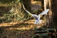 Un vuelo de la lechuza común entre los árboles Foto de archivo libre de regalías