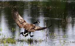 Un vuelo del ganso de Canadá Fotografía de archivo