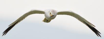 Un vuelo del pájaro contra mí Fotografía de archivo libre de regalías