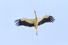 Un vuelo del pájaro de la cigüeña blanca contra el cielo azul claro Fotos de archivo libres de regalías