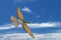 Un vuelo del pájaro del comedor de abeja con una mariposa Foto de archivo libre de regalías