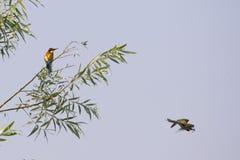 Un vuelo del pájaro del comedor de abeja con una mariposa Imagen de archivo