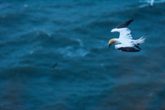 Un vuelo a lo largo de los acantilados del bempton, Yorkshire, Reino Unido del gannet Foto de archivo libre de regalías