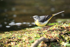 Un wagtail gris. Image stock
