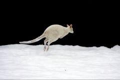 Un wallaby blanco de Bennett (rufogriseus del Macropus) adentro Fotos de archivo libres de regalías