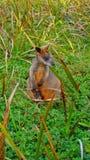 Un wallaby ed il suo bambino fotografia stock