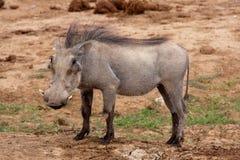 Un warthog adulte en stationnement de safari d'Addo Photographie stock libre de droits