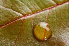 Un waterdrop en una hoja verde con las venas rojas Imágenes de archivo libres de regalías