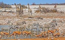 Un waterhole en el parque nacional de Etosha que vierte con fauna Fotos de archivo libres de regalías