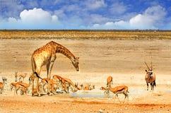 Un waterhole vibrante nel parco nazionale di Etosha con la giraffa, l'orice e l'antilope saltante Immagine Stock Libera da Diritti