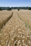 Un wheatfield listo para la cosecha foto de archivo