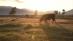 Un Whit And Brown Cow Pasturing sulla gamma di Autumn Field With The Mountain su fondo al tramonto con il fascio luminoso video d archivio