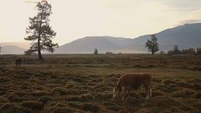 Un Whit And Brown Cow Pasturing sulla gamma di Autumn Field With The Mountain su fondo nel primo mattino nell'ambito di bianco video d archivio