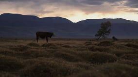 Un Whit And Brown Cow Pasturing sulla gamma di Autumn Field With The Mountain su fondo nella sera stock footage