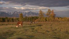 Un Whit And Brown Cow Pasturing sulla gamma di Autumn Field With The Mountain su fondo sotto il cielo nuvoloso scuro video d archivio