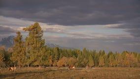 Un Whit And Brown Cow Pasturing sulla gamma di Autumn Field With The Mountain su fondo sotto il cielo nuvoloso scuro stock footage