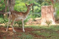 Un whitetail-cerf commun de faon Photographie stock