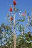 Un Wildflower australien Grevillea Photos libres de droits