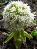 Un wildflower che cresce liberamente nelle alpi immagini stock libere da diritti