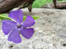 Un wildflower secondario della vinca della vinca contro un fondo di pietra fotografia stock libera da diritti